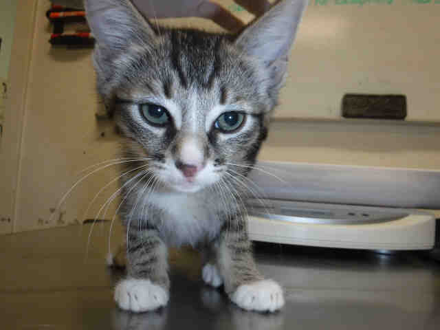 Tiny striped kitten with white chine and white paws, standing and staring at the camera.