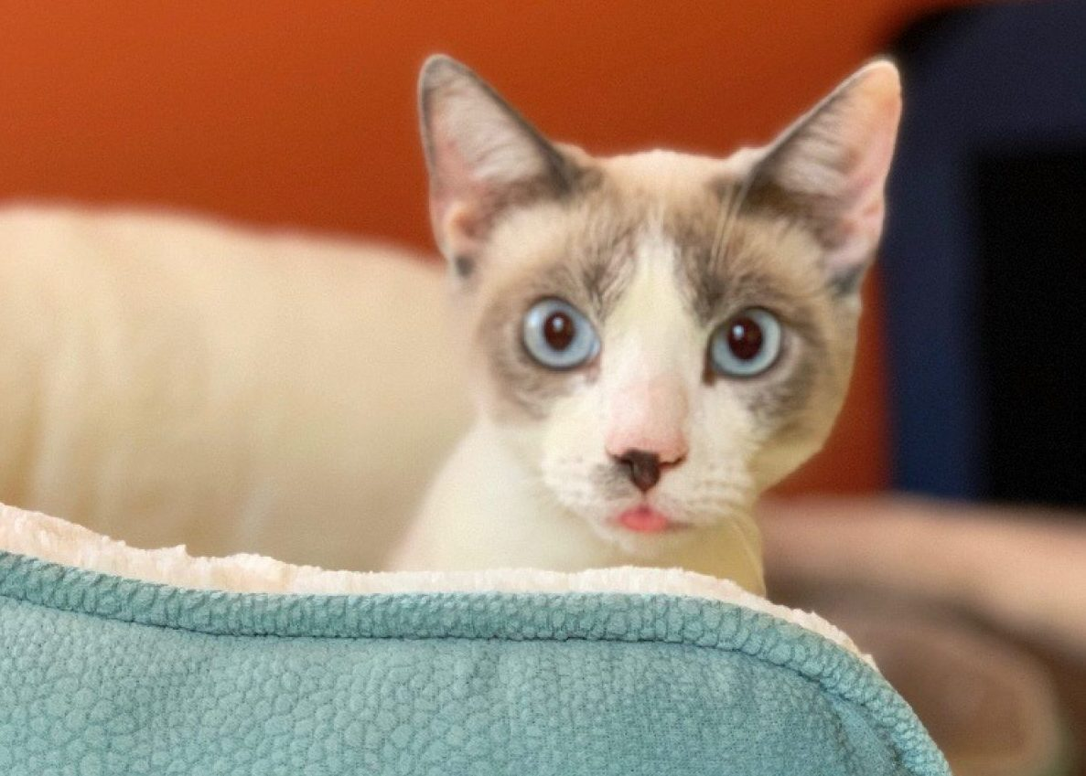 cat with lilac Siamese points and a white muzle and a spot on his nose looks at camera from a blue white-fleeced bed.